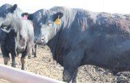 Костанайская область планирует экспортировать 2 тыс тонн говядины в 2018 году