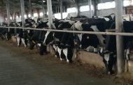 «Умную молочную ферму» запустили в Костанайской области