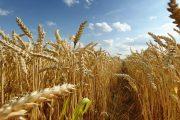 О влиянии установившейся жары на посевы в Костанайской области рассказали в акимате