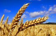 В начале августа на севере Казахстана условия для налива зерна были удовлетворительные
