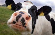 В животноводстве экспериментируют с трансплантацией эмбрионов КРС