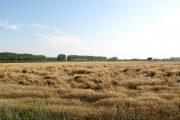 Вполне вероятно, что в этом году казахстанская пшеница будет в цене