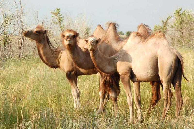 Сухое верблюжье молоко из Туркестанской области пойдет на экспорт