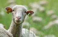 Грязную овечью шерсть из Казахстана не пустили в Волгоградскую область