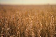 На Урале усилят контроль за перемещением зерна из РФ в Казахстан