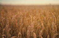 Оман заинтересован в поставках казахстанской пшеницы в страны Ближнего Востока
