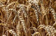 Из Алтайского края в Казахстан пытались вывезти опасную пшеницу