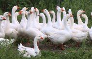В Омскую область не пустили гусей из Казахстана