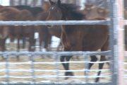 Знаменитая  Костанайская порода лошадей   на грани вымирания