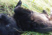 Два алабая разорвали щенка в центре Костаная