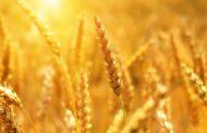 Зерно из Старомайнского района повезут в Турцию, Иран и Казахстан