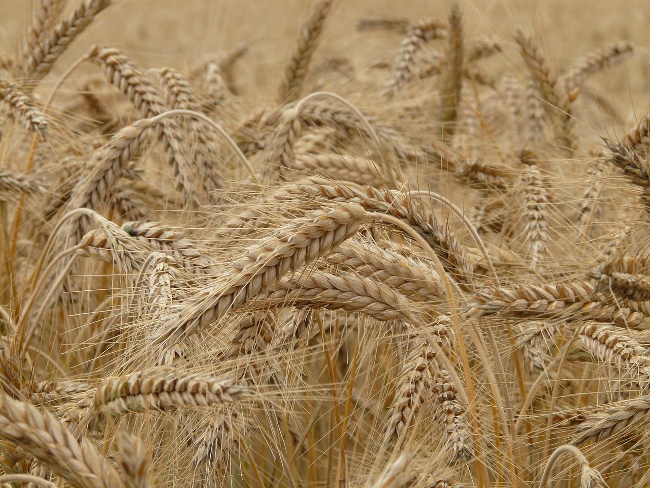 Запасы семян зерновых культур в Казахстане в этом году самые низкие за 5 лет