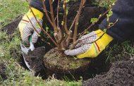 Чиновники в Актобе восстанавливают уничтоженные по их же приказу деревья