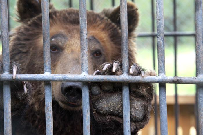 «Заключенная» костанайская медведица Катя уже месяц бодрствует