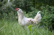 Из Казахстана в Омск пытались ввезти 19 тонн сомнительного куриного мяса