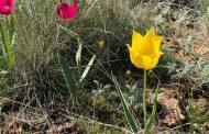 Впервые в Костанайской области проходит фестиваль тюльпанов