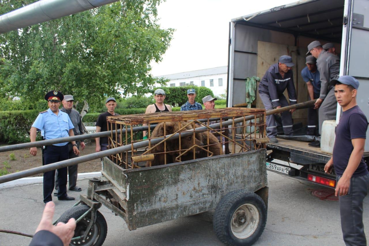 Медведицу Катю «освободили» из Костанайской колонии