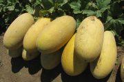 Пятикратное превышение нитратов в арбузах и дынях из Шымкента и Туркменистана выявили в Актау