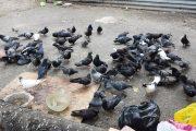 Председатель ПКСК «Виктория 17» считает, что информация о массовой гибели голубей — неправда