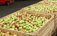 В Челябинске уничтожили «казахские» яблоки польского происхождения