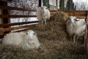 Из России в Казахстан не пропустили трех баранов