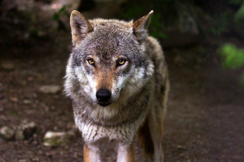 Омичей предупредили о стае волков, которая идет из Казахстана