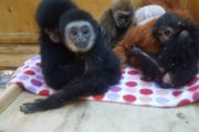 Челябинку отдали под суд за контрабанду обезьян из Казахстана
