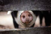 Башкирия поставляет племенных свиней в Казахстан