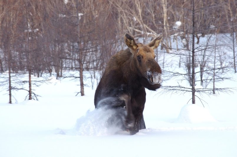 Как главный специалист областной теринспекции лесного хозяйства оказался при разделывании туши лося?