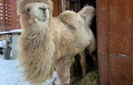 Снявшегося в фильме «Тобол» верблюда спасет челябинский ветеринар