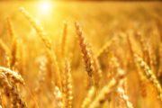 Минсельхоз Казахстана обнародовал правила распределения экспортных квот на пшеницу и муку на апрель