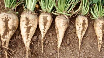 Неутешительные прогнозы по урожаю сахаpной свеклы в РК дают специалисты