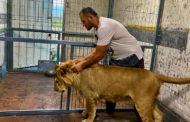 Льва, гулявшего в пригороде Актау, хотят усыпить.