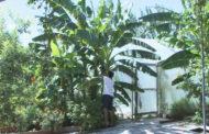 Жительница Казахстана вырастила бананы в огороде