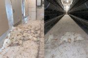 Радикальные меры из-за птичьего гриппа приняли на Аркалыкской птицефабрике