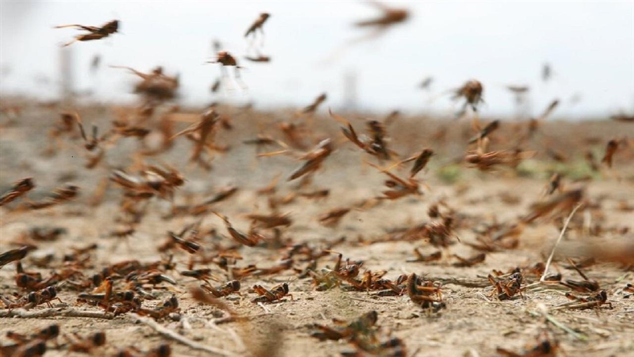 МСХ РК и РФ обсудили подготовку к борьбе с саранчой на приграничных территориях