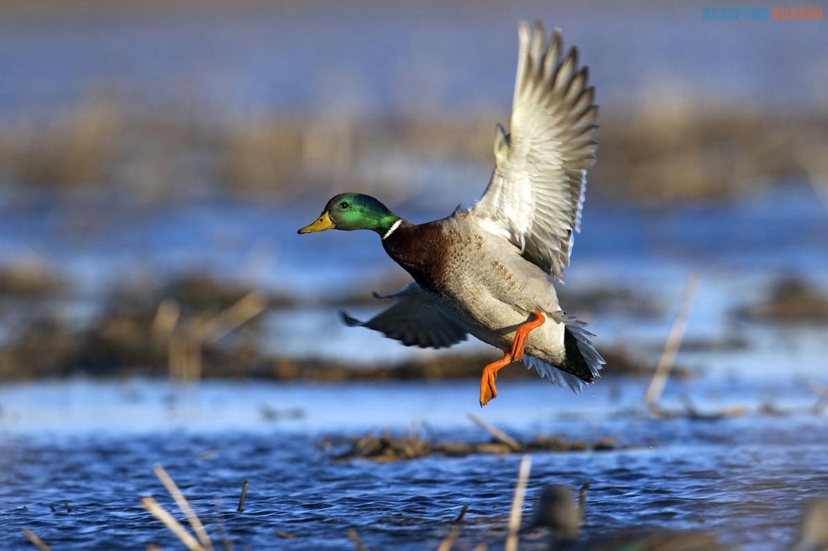 Весеннюю охоту разрешили в Казахстане впервые за 4 года. Экологи выступили против