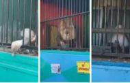 В передвижном зоопарке Кокшетау животные погибают от жары