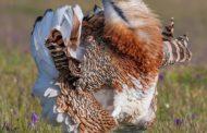 Казахстанцы впервые массово выступили против охоты на дрофу-красотку на официальном ресурсе