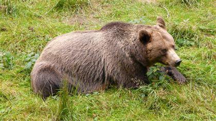 Медведь держит в страхе жителей города в Восточно-Казахстанской области