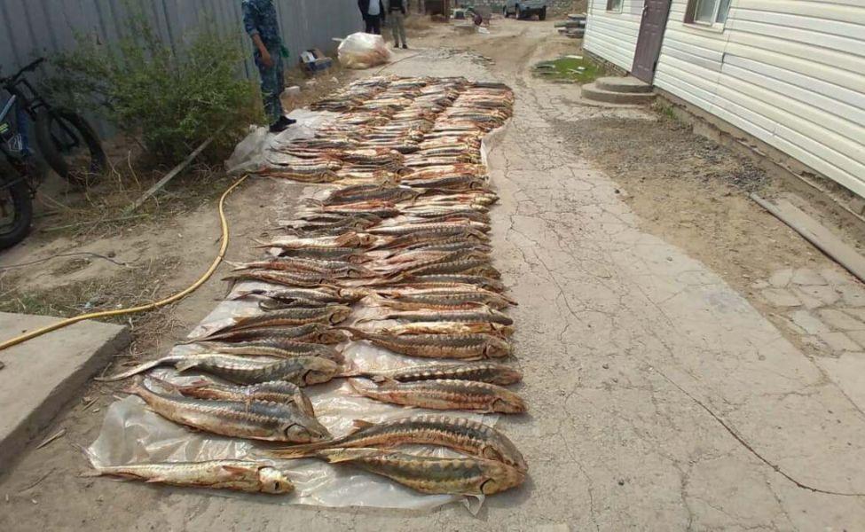 Тонну осетра изъяли у браконьеров в Атырауской области