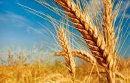 Новые сорта твёрдой и мягкой пшеницы вывели в Акмолинской области