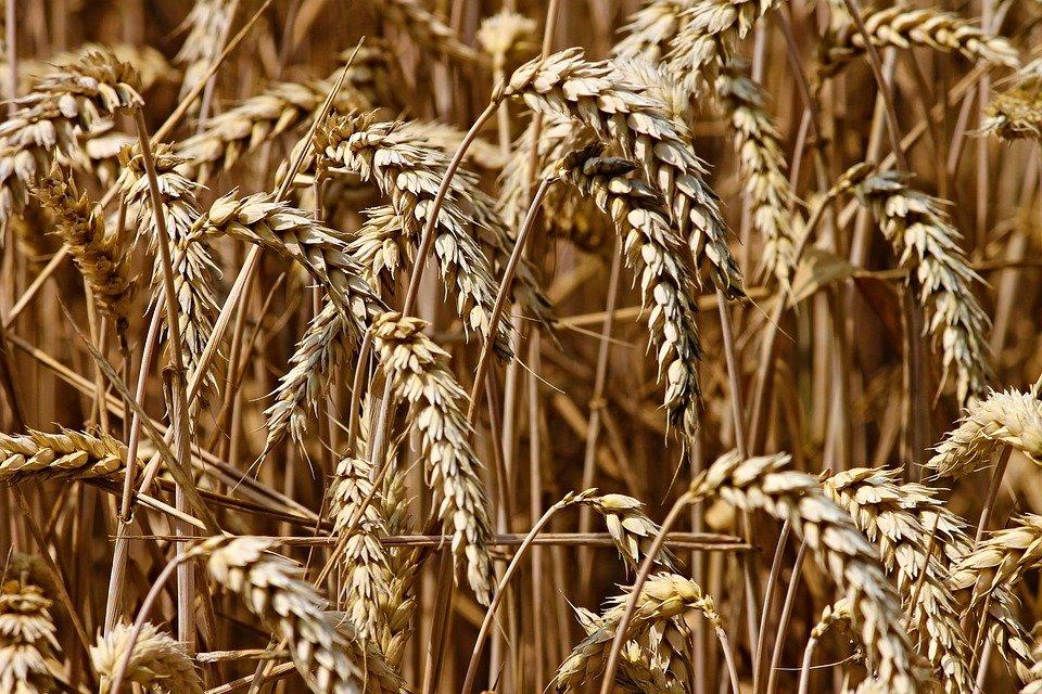 Казахстан продолжит поставки зерна и муки в Афганистан – МСХ